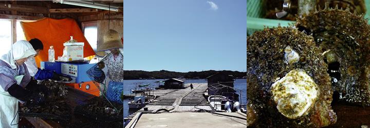 志摩 井上真珠 養殖場